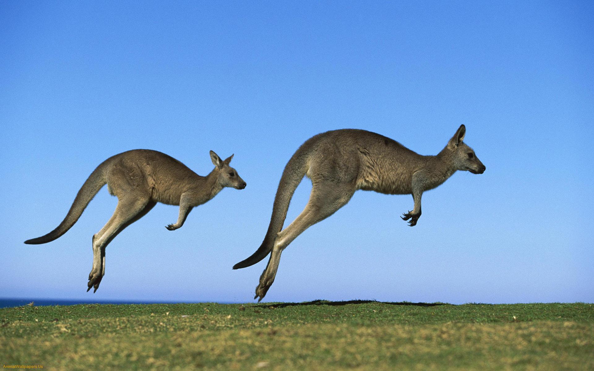 Kangaroos Jump