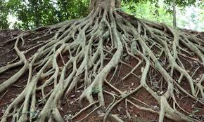 Tree Roots.jpeg